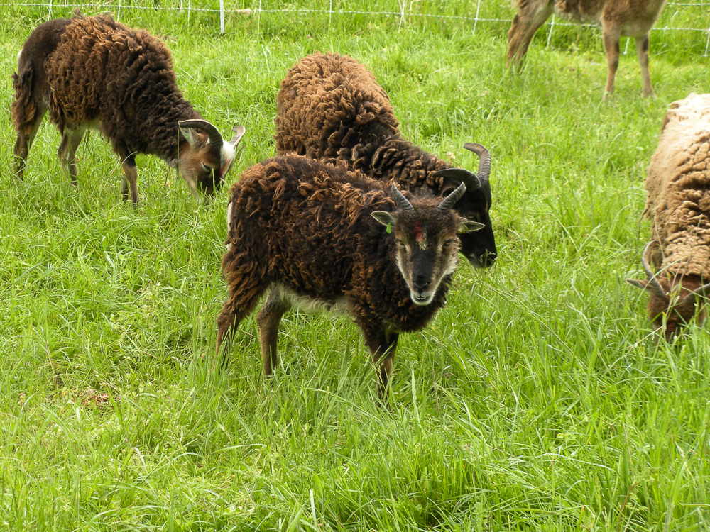 Yearling Soay ewes
