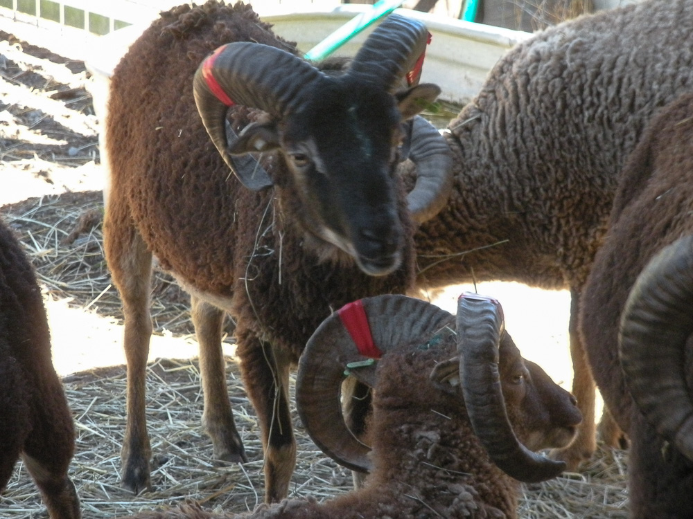 Soay Sheep ram lambs