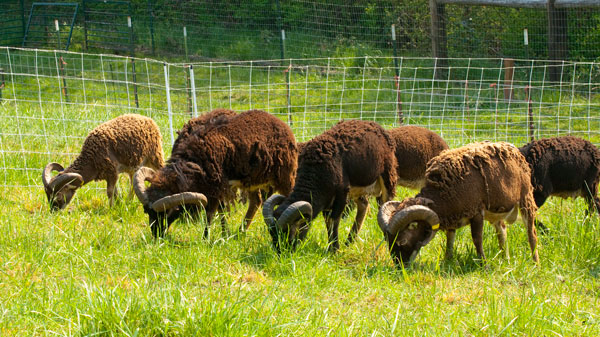 Soay rams grazing
