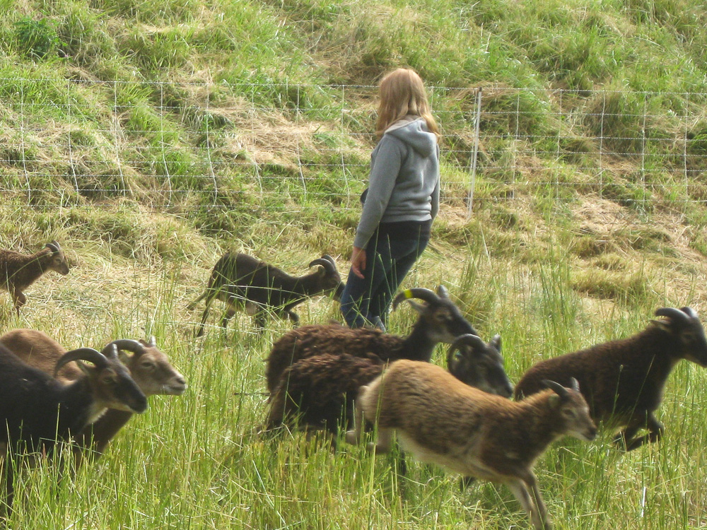 Franny, now a teenager, still loves our Soay sheep