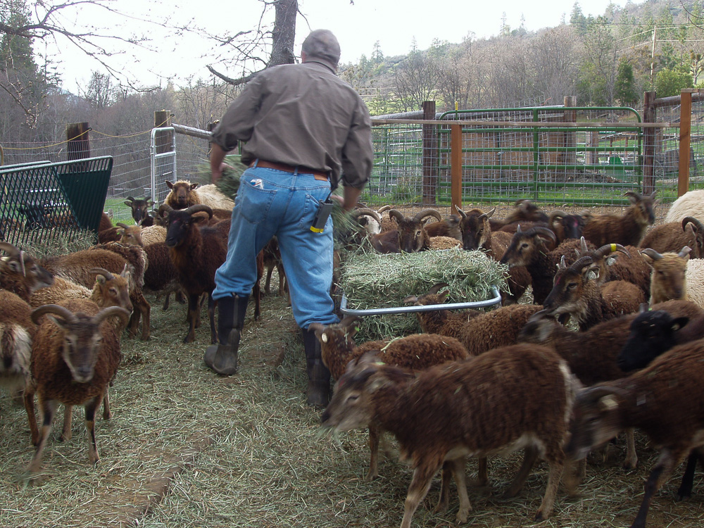 Feeding the ewes