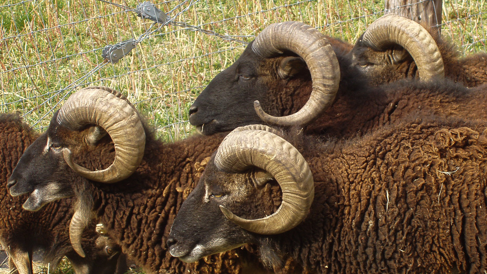 Soay rams