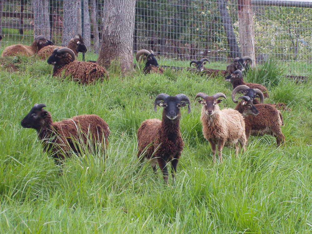 Yearling Rams